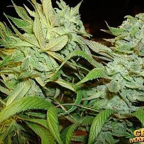 Marijuana and Brain Function